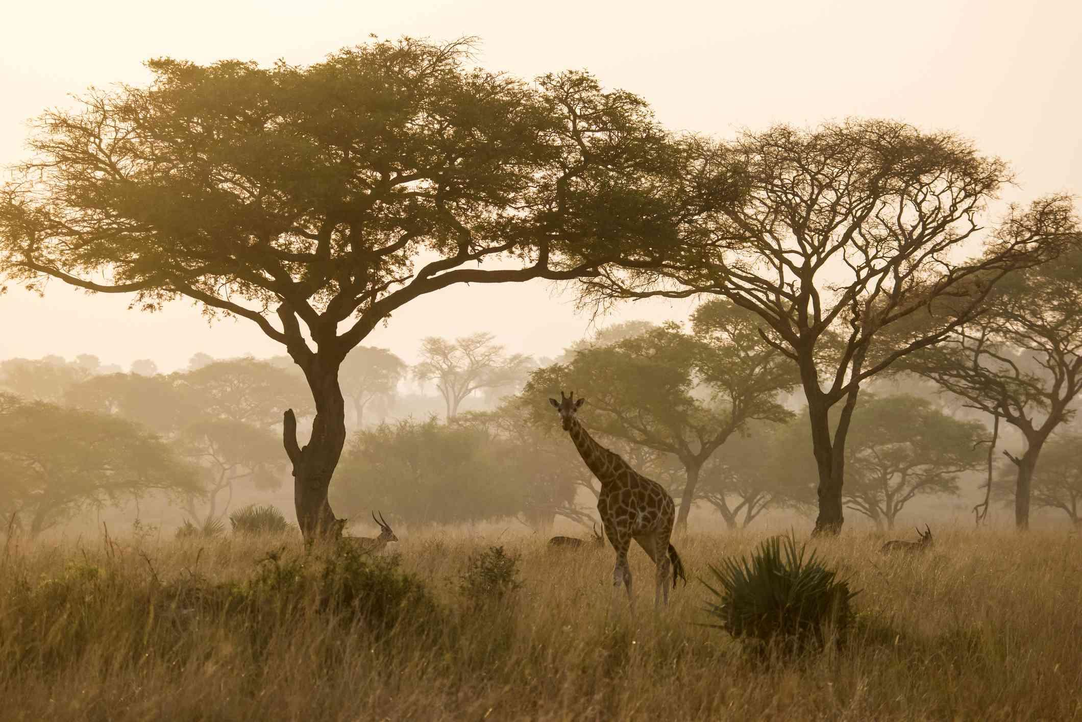 Nubian giraffe in Kidepo Valley National Park, Uganda