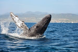 Humpback Whale breaching off the coast of Cabo San Lucas, Mexico