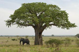An elephant stands beneath a baobab tree in Tarangire National Park