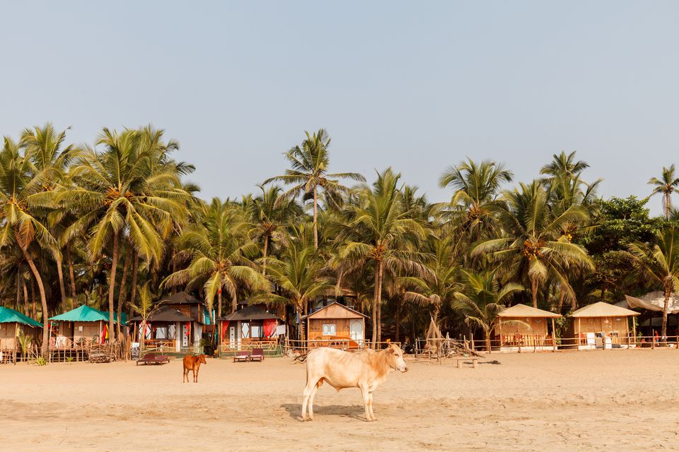 A cow on Agonda Beach, Goa, India