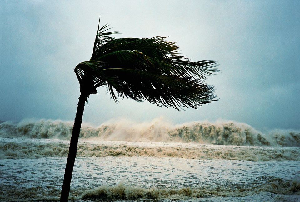 A palm tree blowing in hurricane winds.