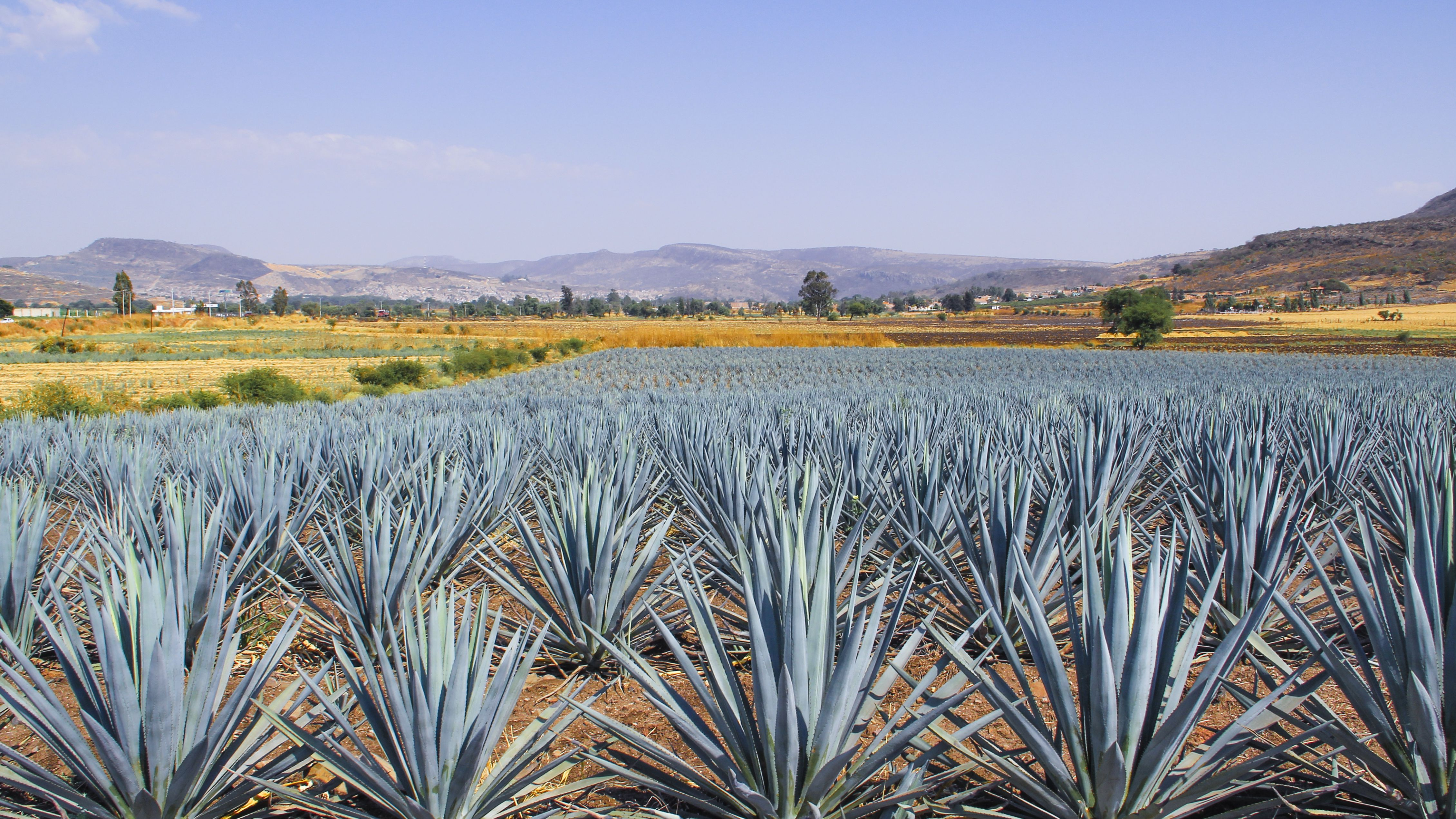 How Mezcal Is Made