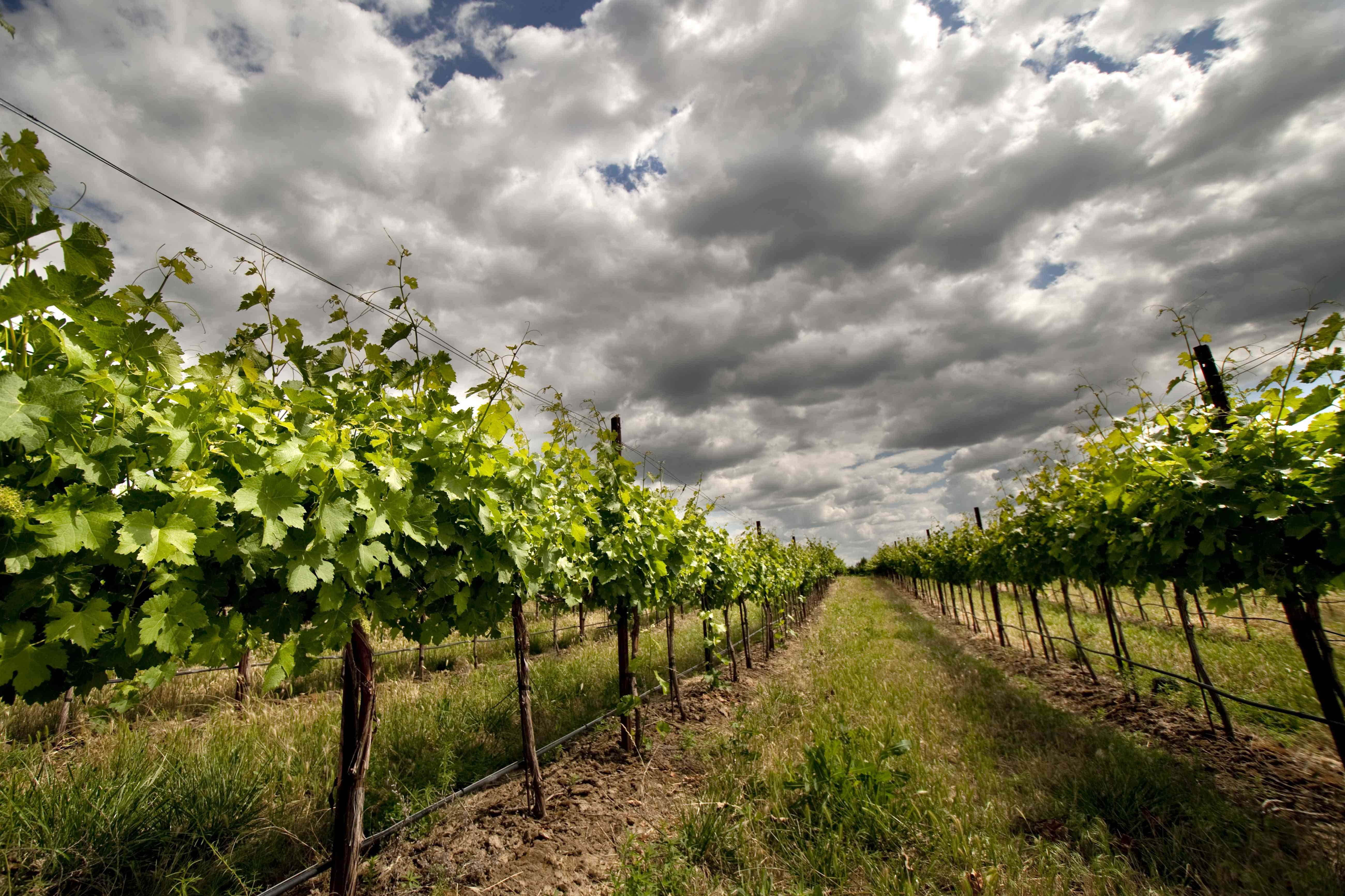 Dark skies over a vineyard