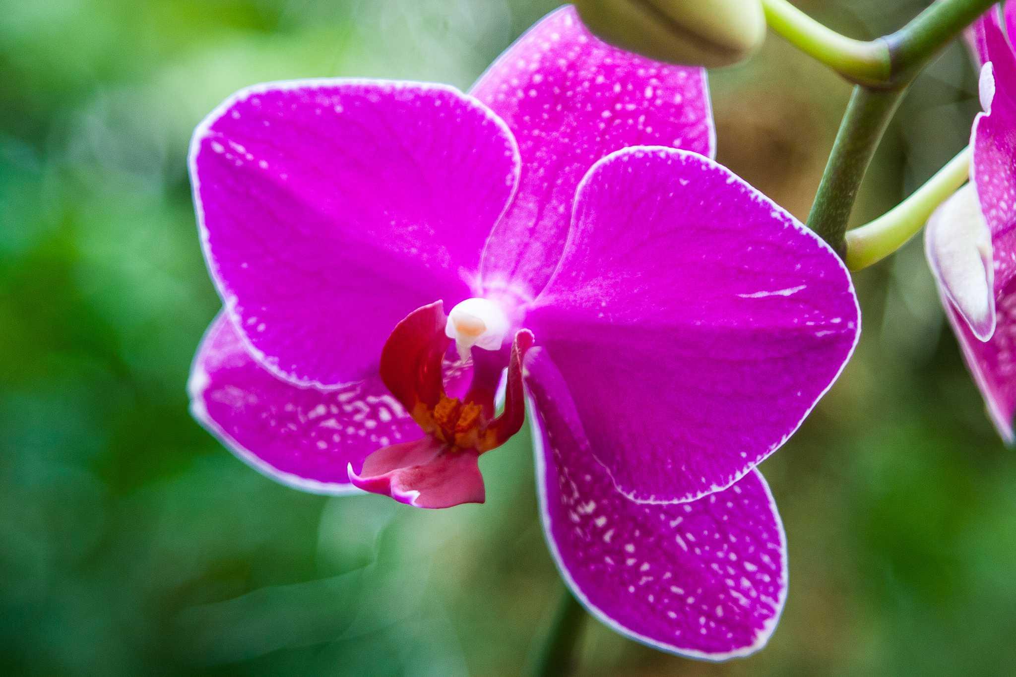 Missouri Botanical Garden orchid