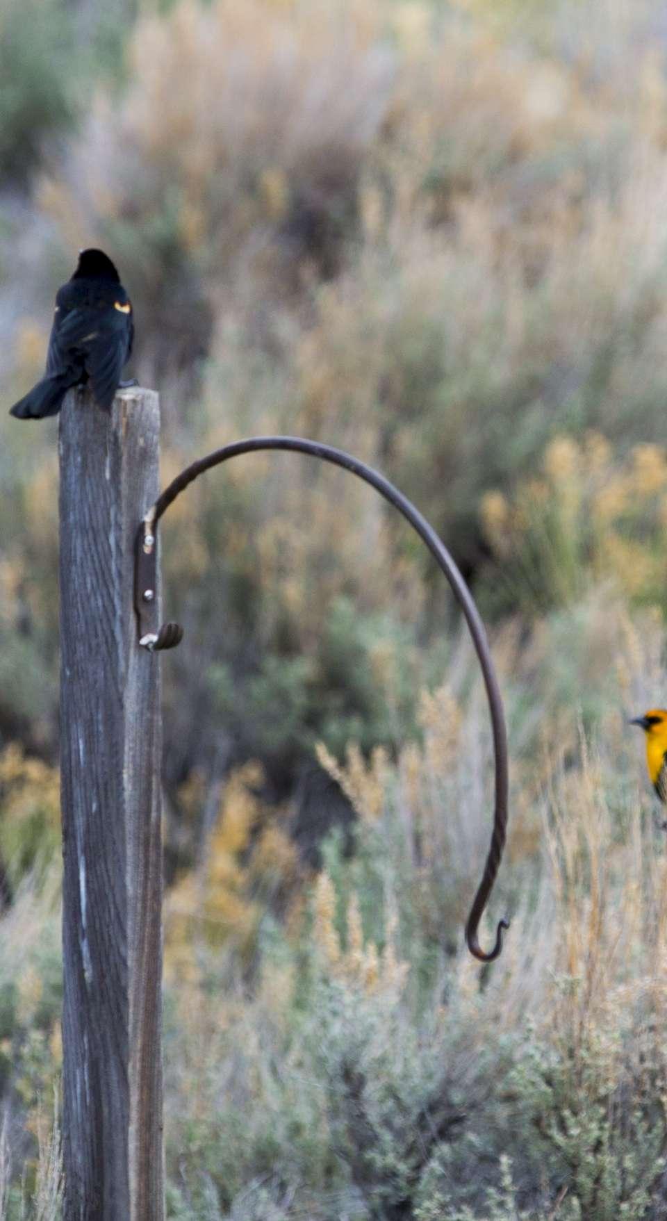 Bird on a wooden post and bird on sagebrush in Seedskadee National Wildlife Refuge