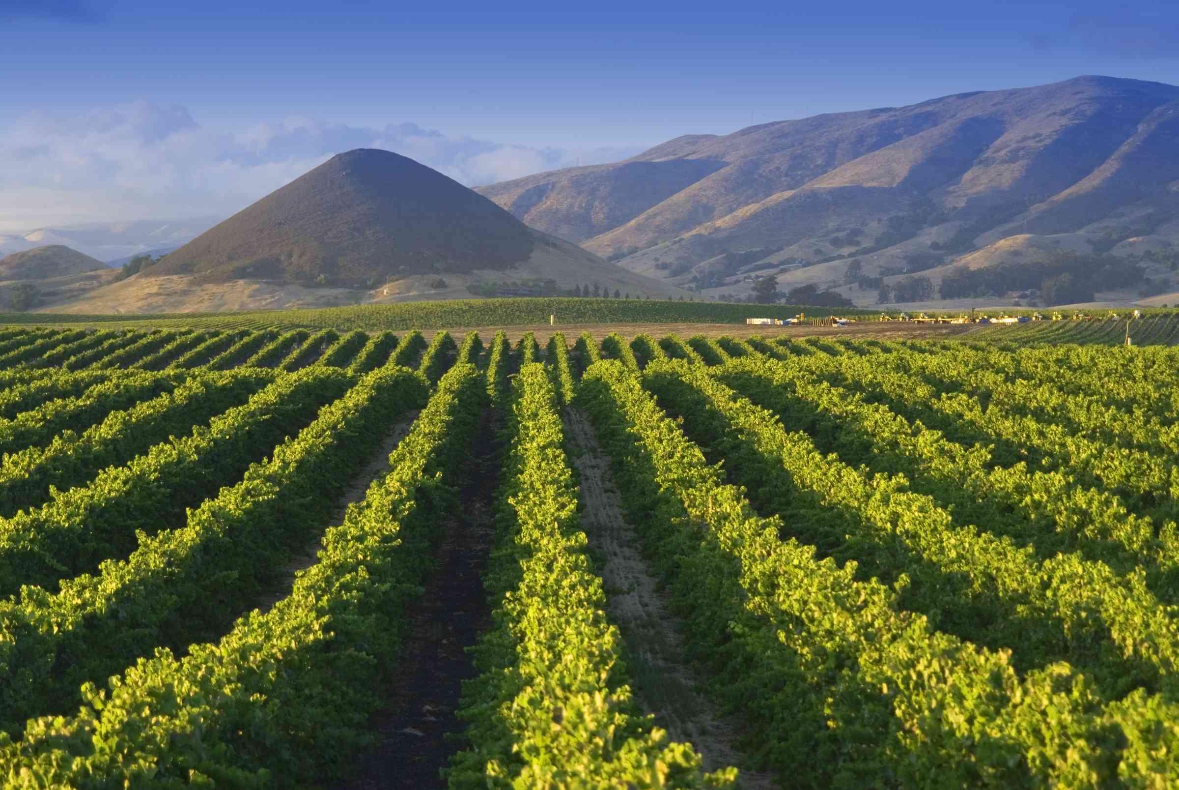 Vineyard near San Luis Obispo