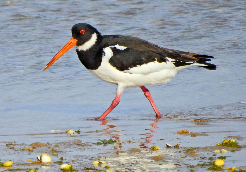 Pájaro ostrero caminando por la orilla