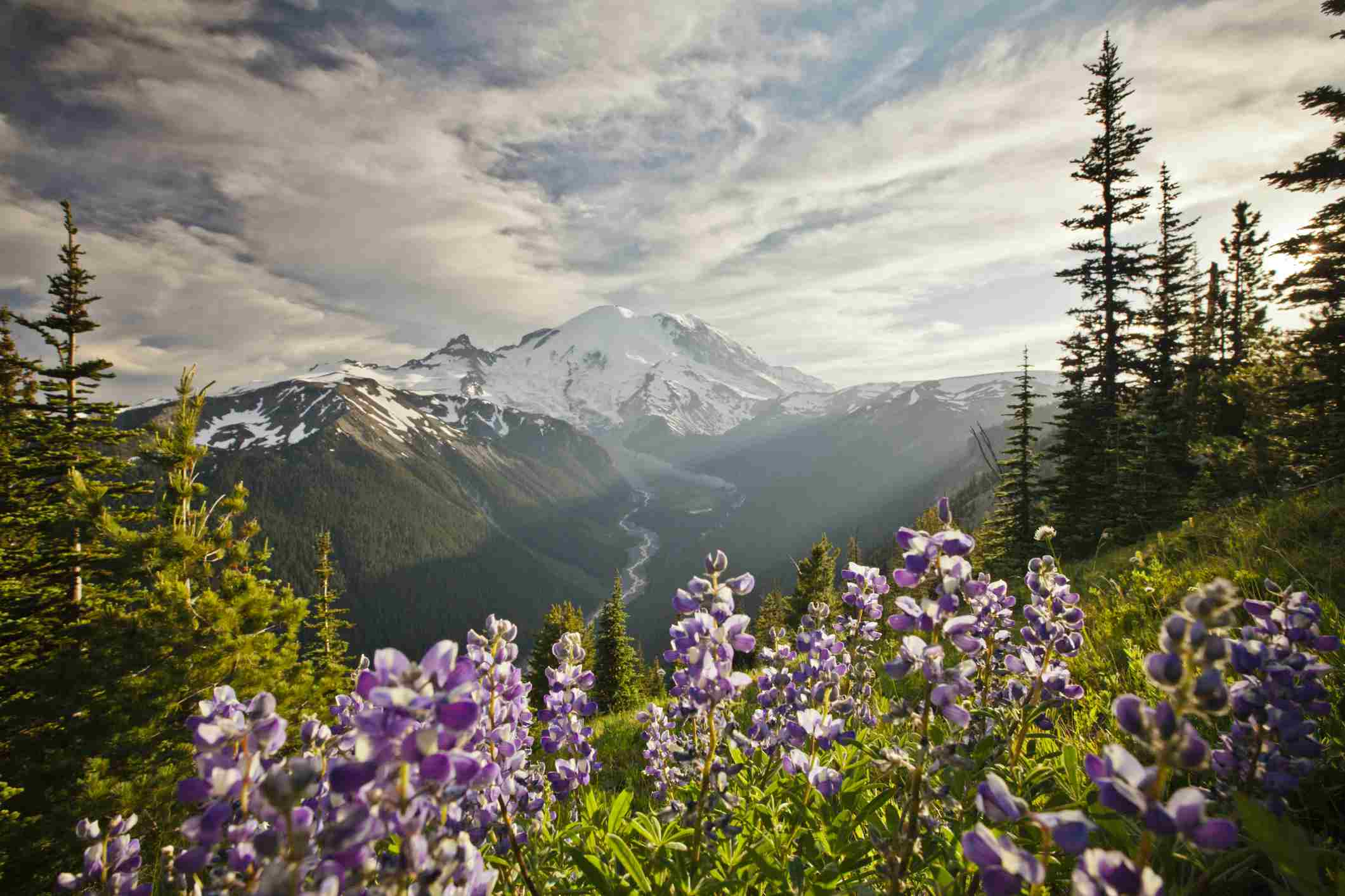 Flores silvestres en el Parque Nacional Mount Ranier
