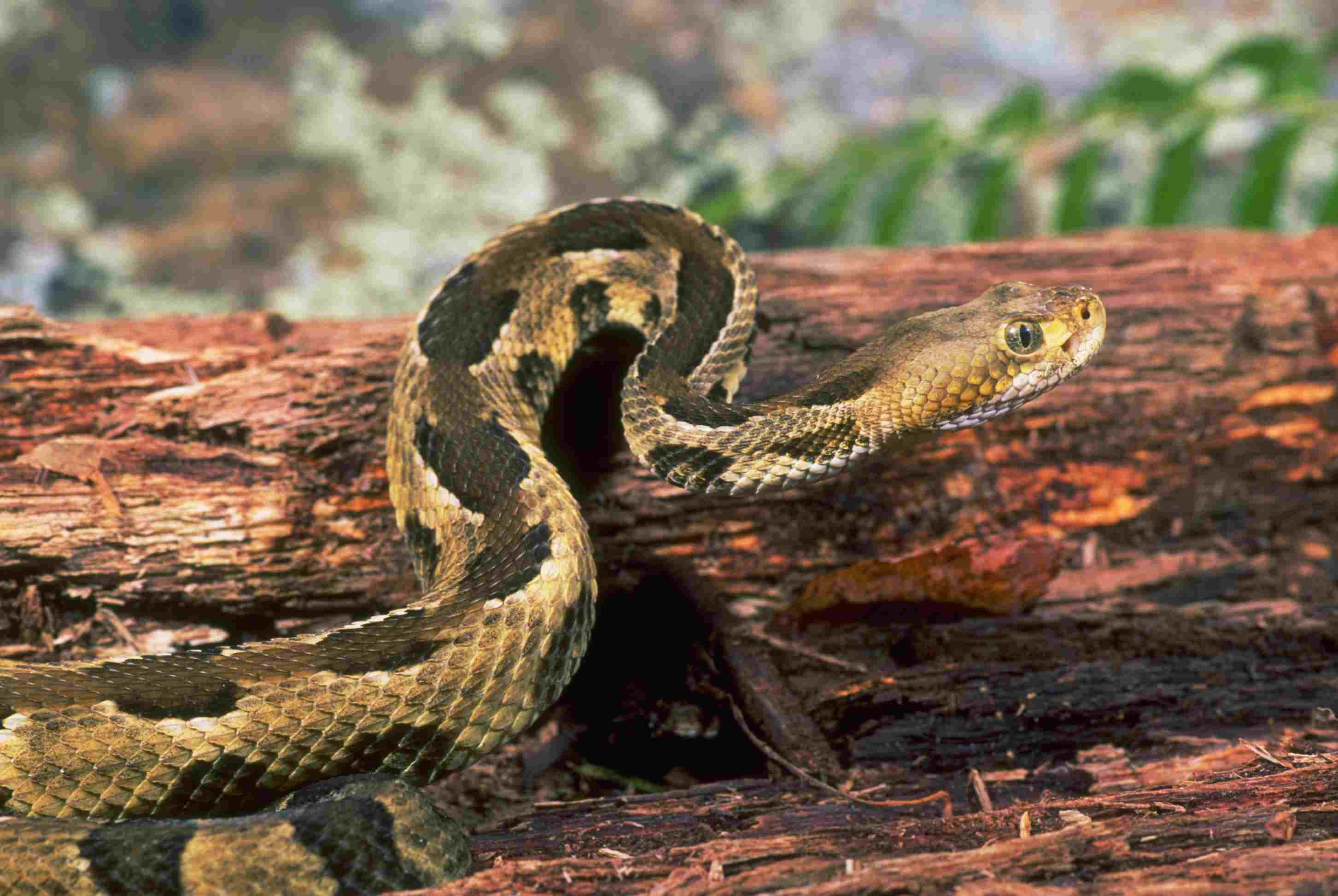 Arkansas 6 Deadly Venomous Snakes