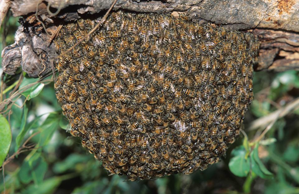 A swarm of African Honey Bees hanging from a branch of a tree.