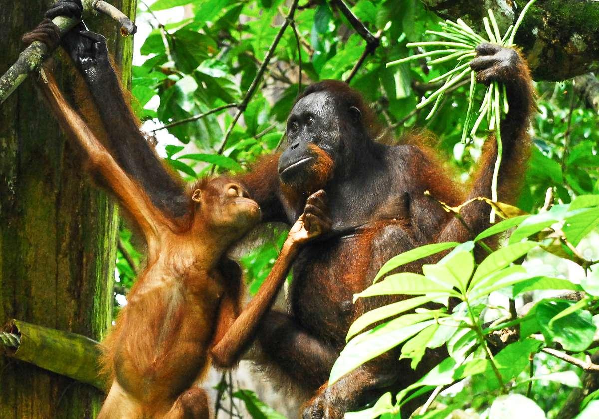 Dos orangutanes
