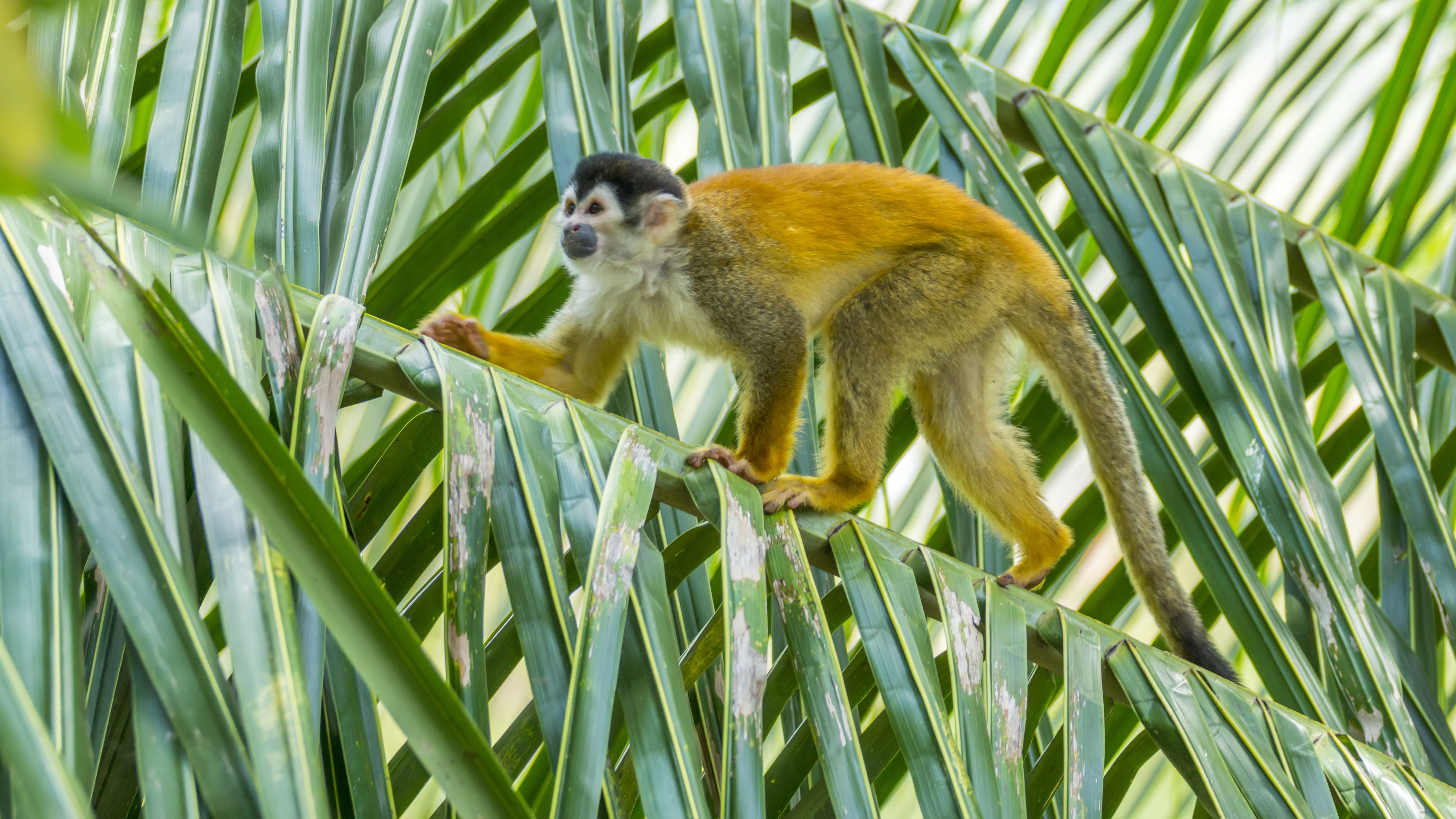 Red-backed Squirrel Monkey, Costa Rica
