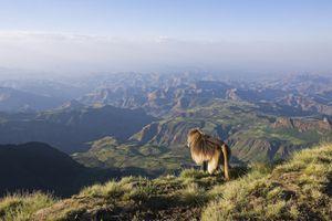Gelada monkey overlooks Simien Mountains National Park, Ethiopia