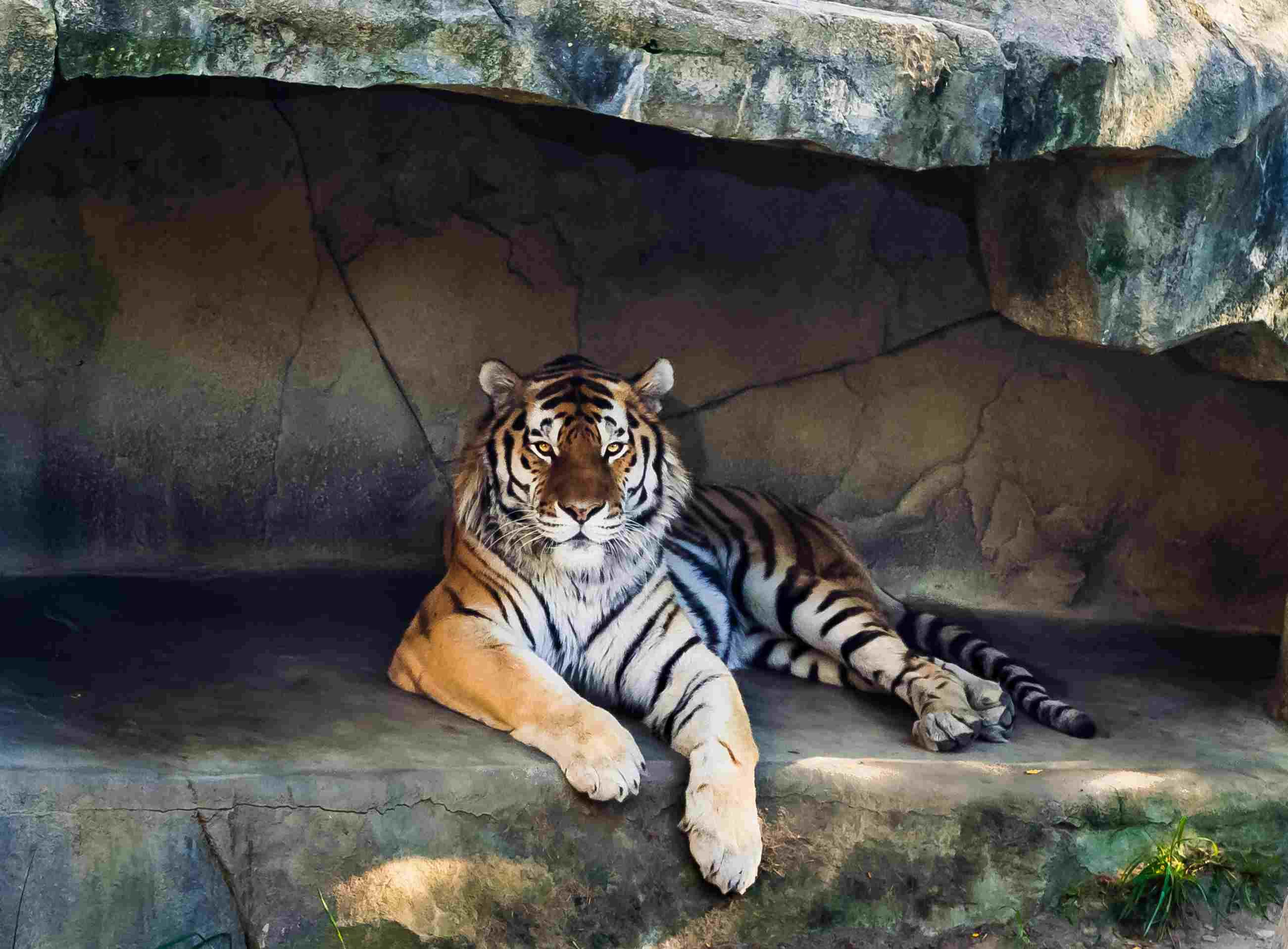 Amur or Siberian Tiger