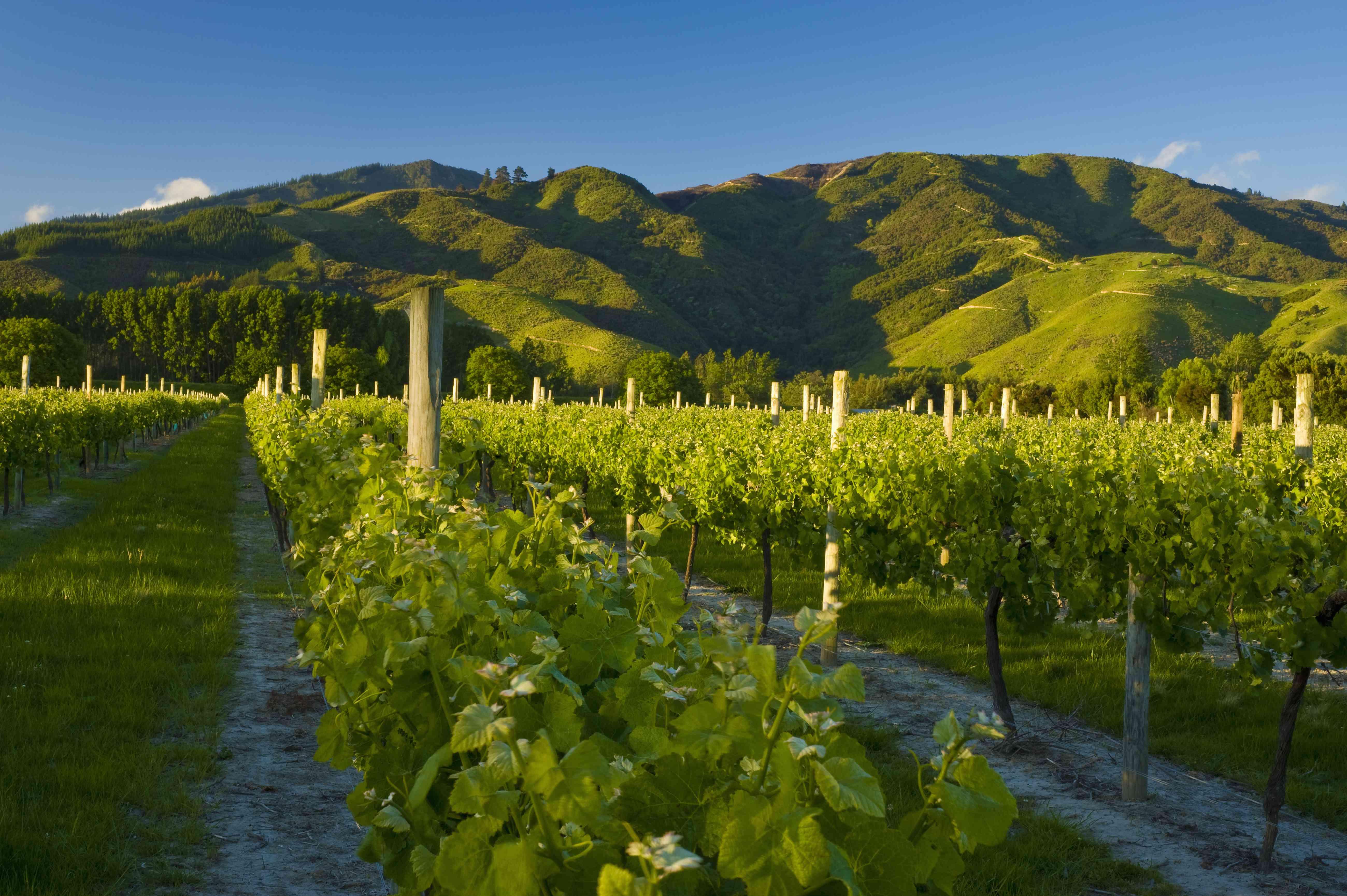 Uvas que crecen en viñedos en la región de Marlborough de Nueva Zelanda con colinas cubiertas de hierba en el fondo