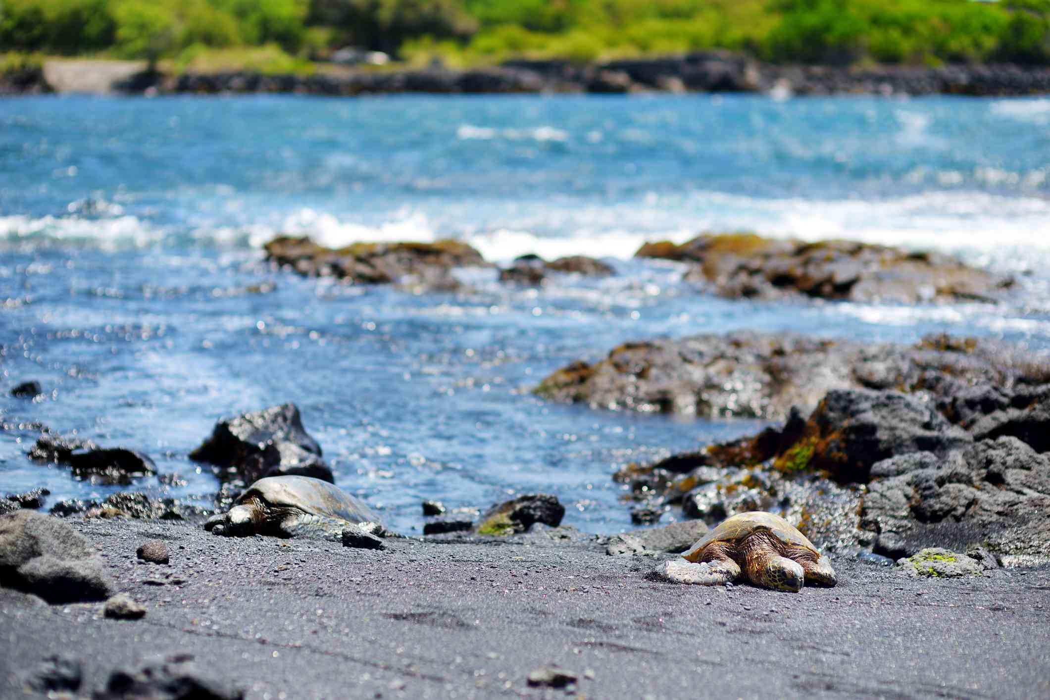 Turtles on Punalu'u Beach, Hawaii Island