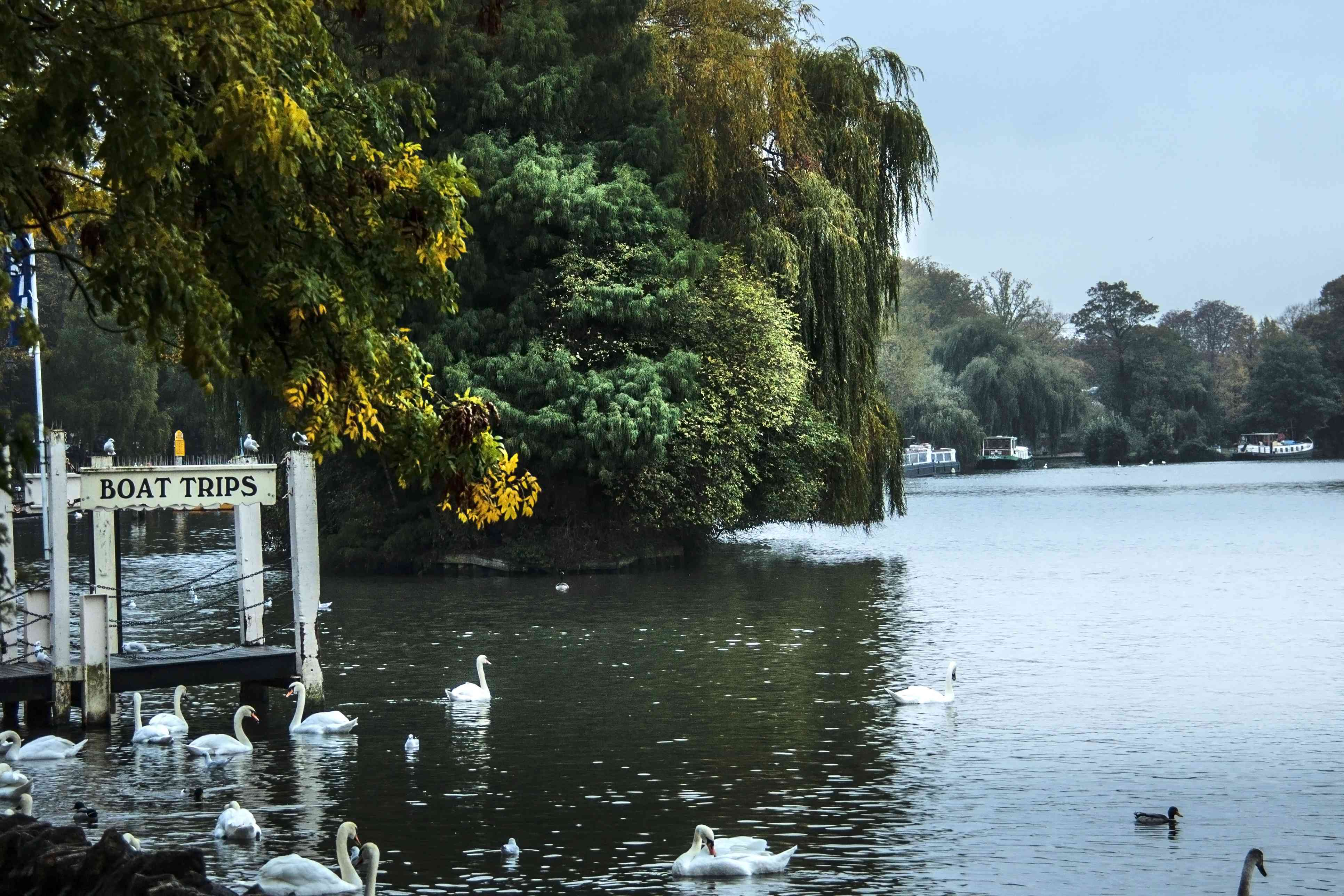 swans resting on the Thames River in England. Windsor, Berkshire, UK. There are large trees on the rives