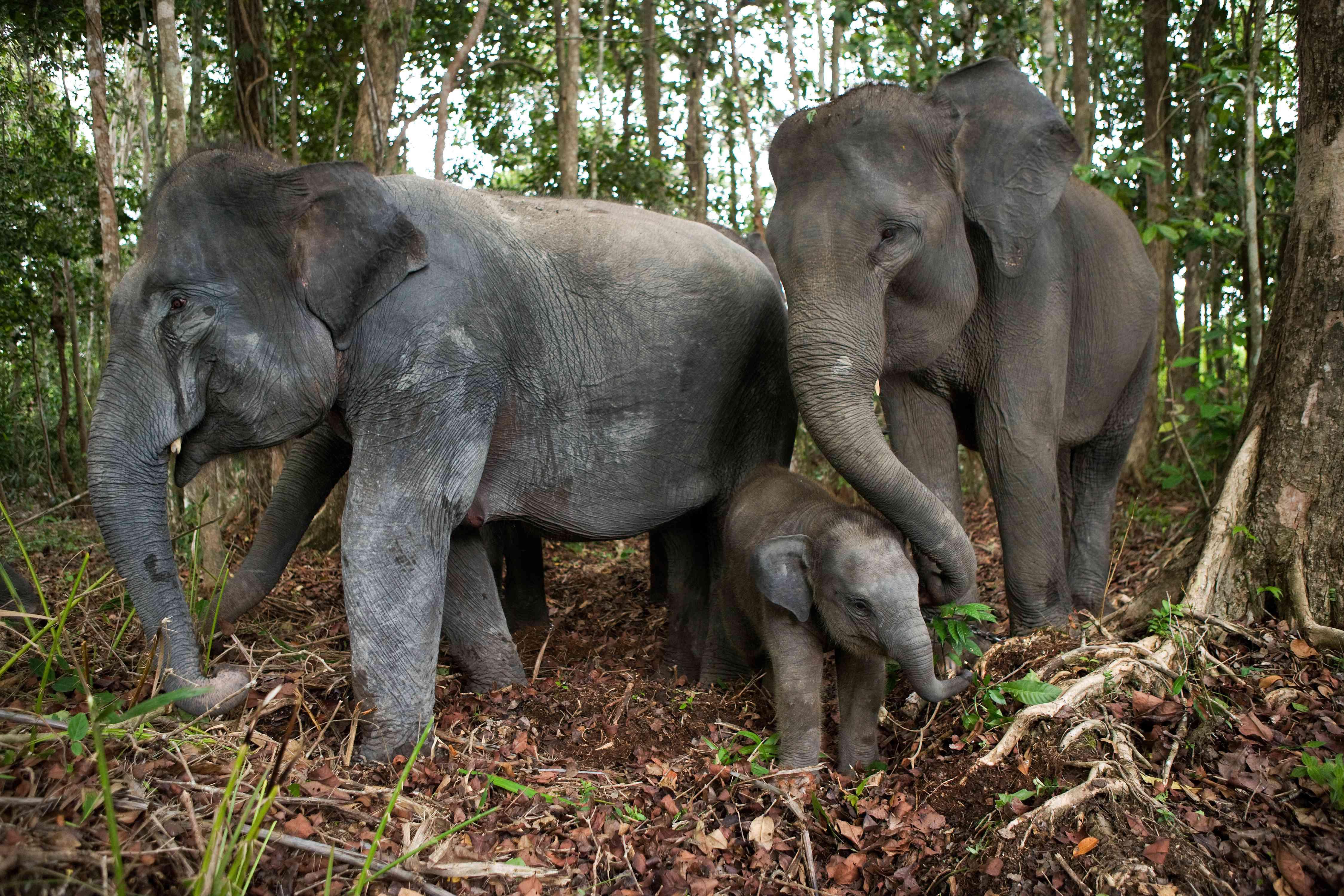 An elephant family in Way Kambas National Park, Sumatra