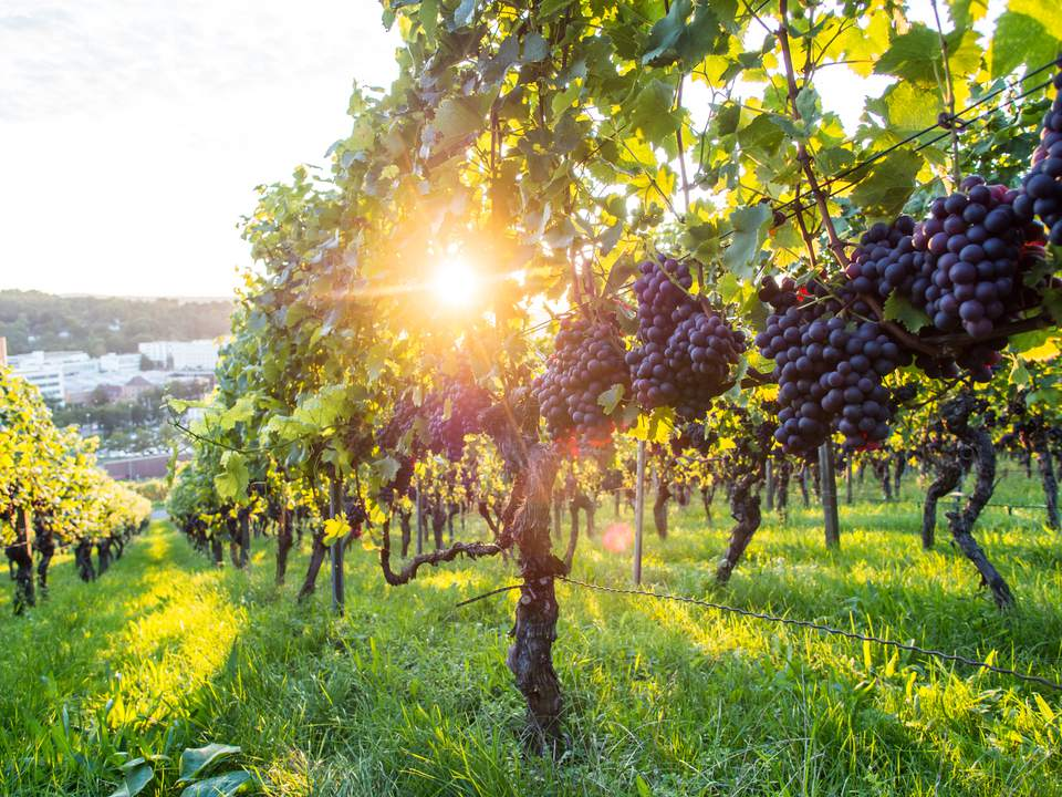The wine industry goes sustainable.