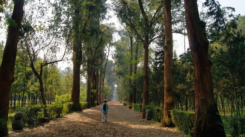 person walking along a path lined with very tall trees