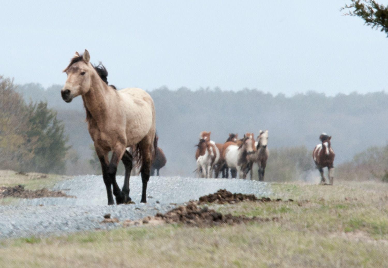 Chincoteague Ponies