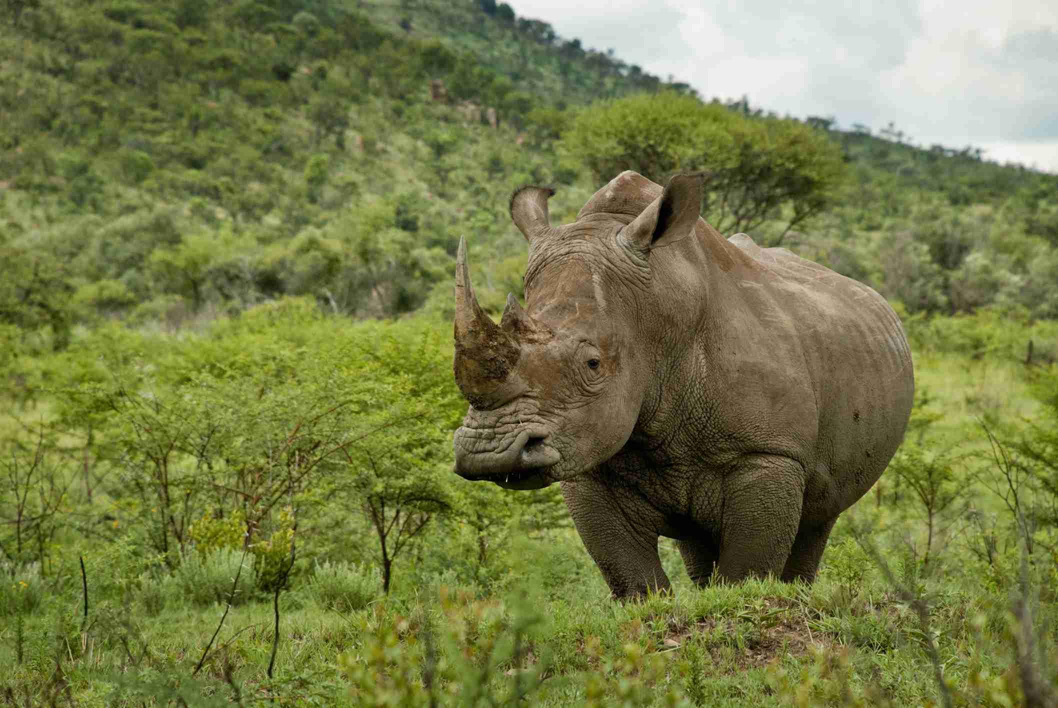 Rinoceronte blanco en el Parque Nacional Pilanesberg, Sudáfrica