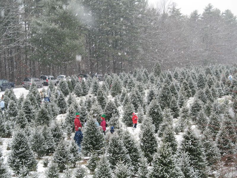 Cut Your Own Christmas Tree Near Me.Cut Your Own Christmas Tree Near The Twin Cities