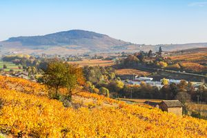 Vineyards in autumn, Beaujolais region, Rhone Alpes, France