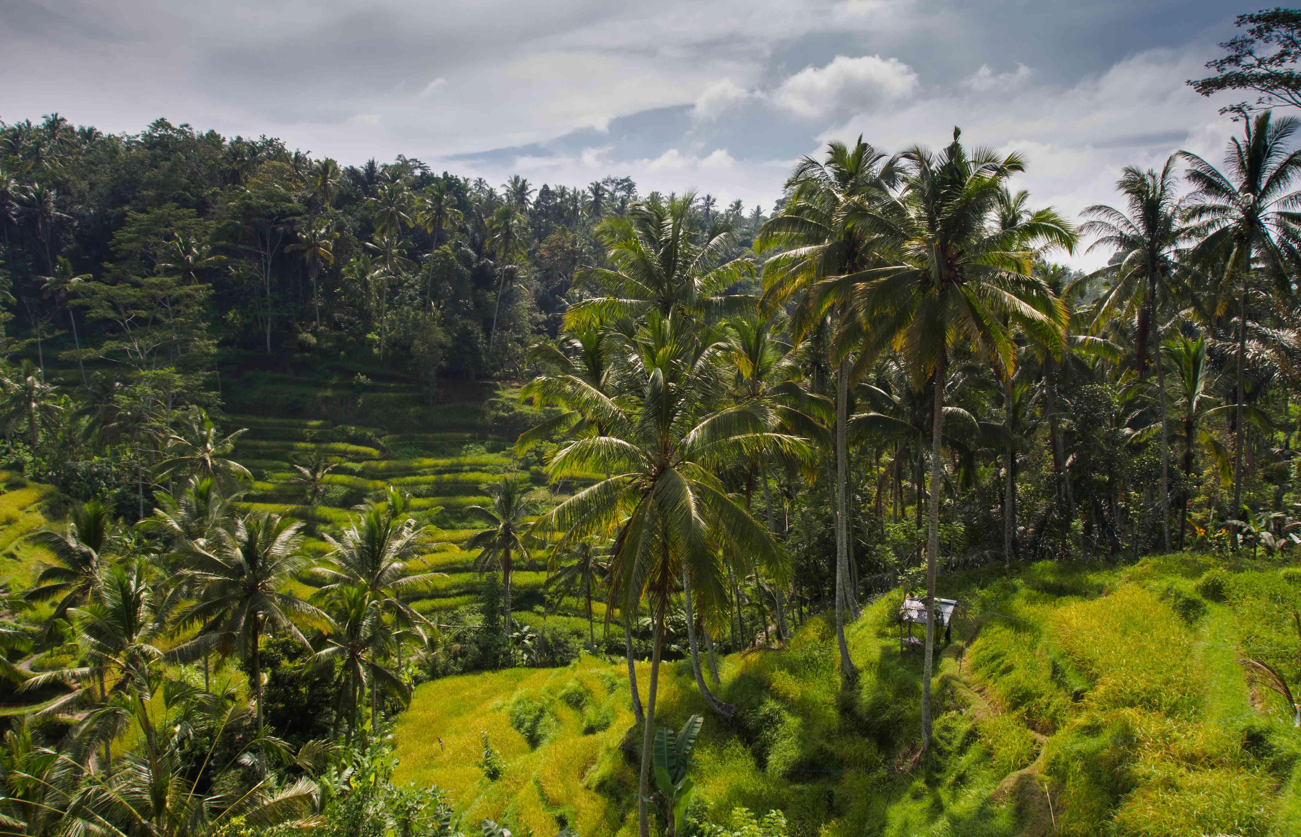 Tegalland rice terraces near Ubud, Bali