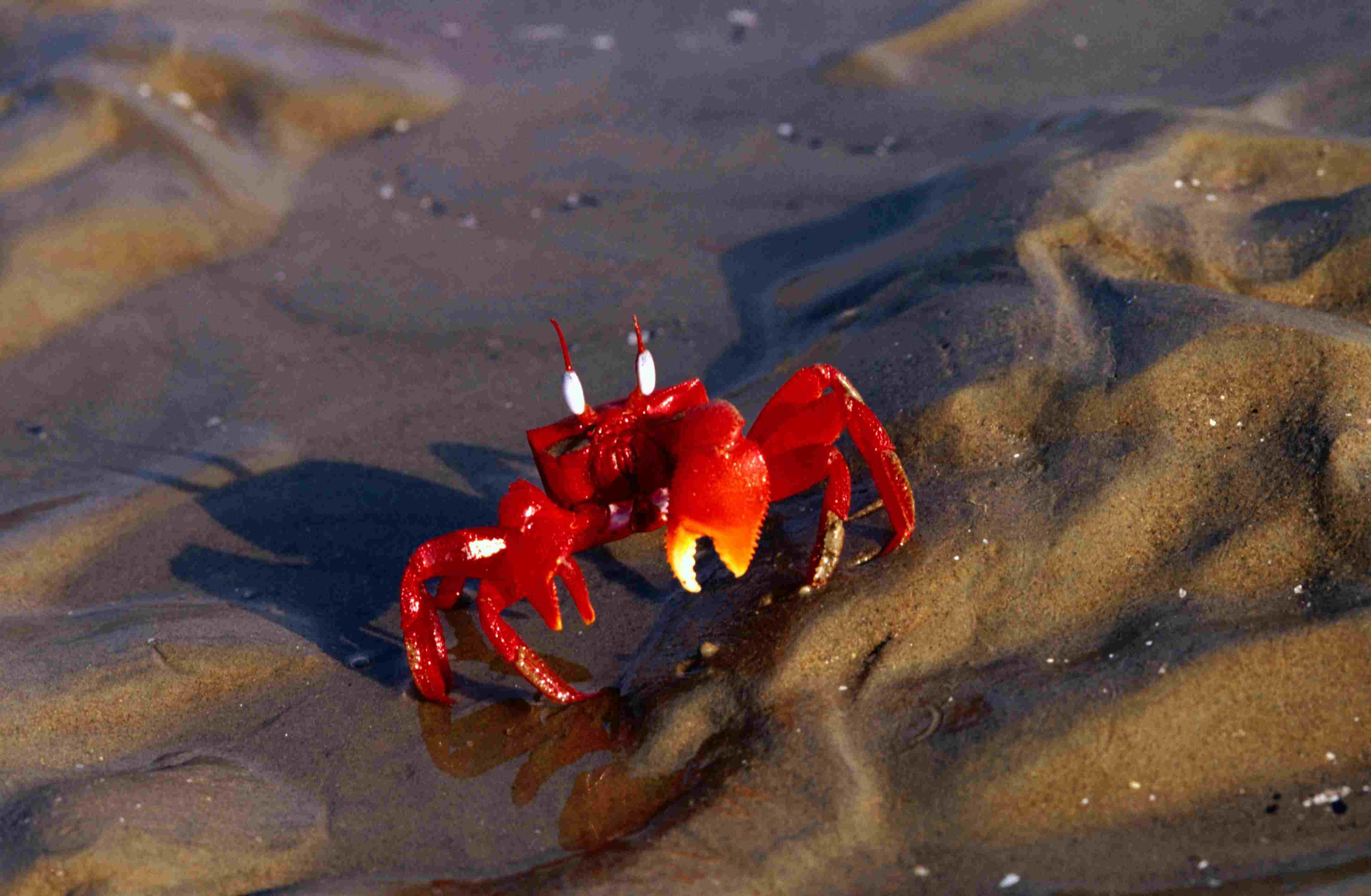 Crab on Chandipur beach