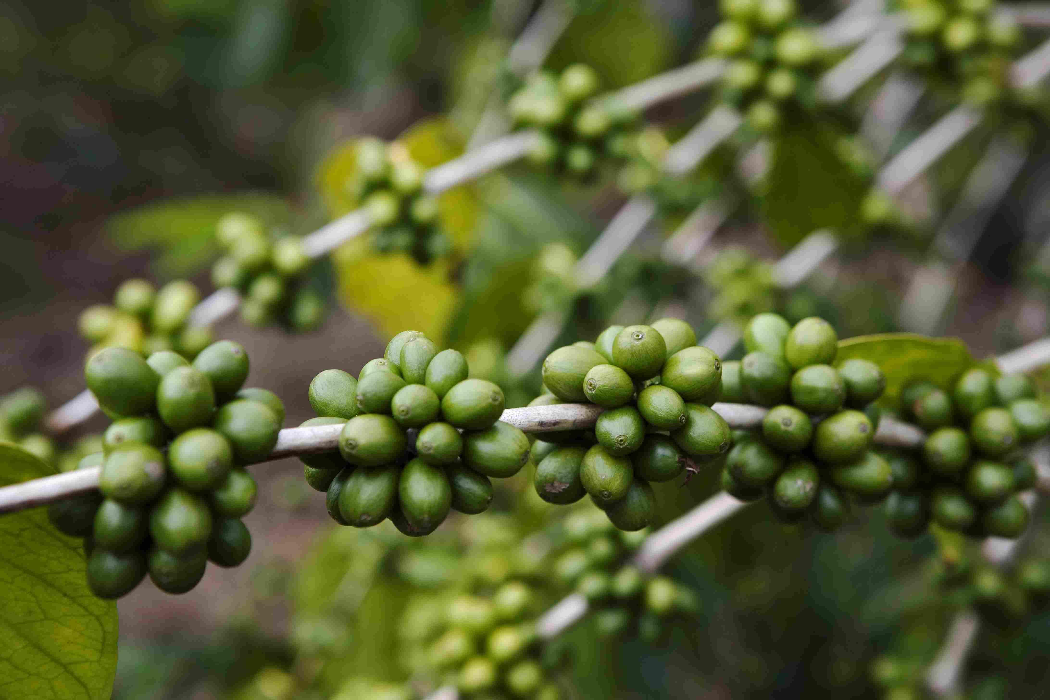 Kona coffee cherries on a tree