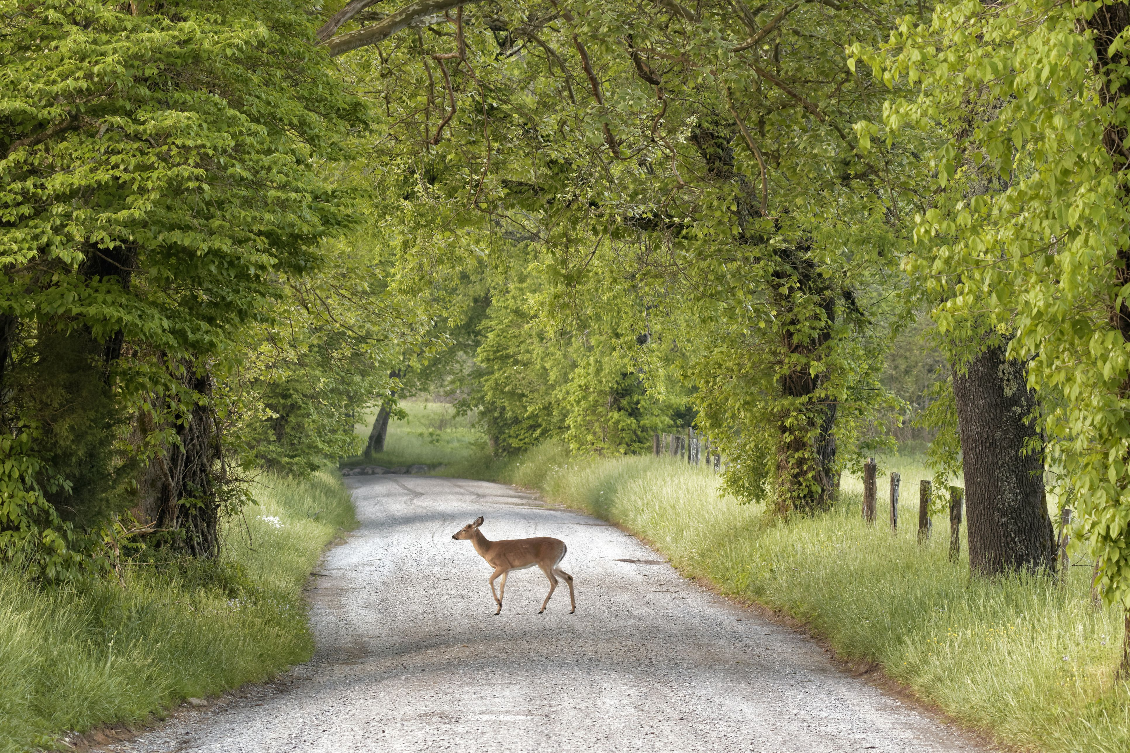 Female deer (cervidae) crossing Sparks Lane, Cades Cove, Great Smoky Mountains National Park, Tennessee, USA