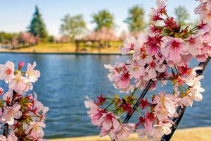 Cherry Blossoms in Balboa Park