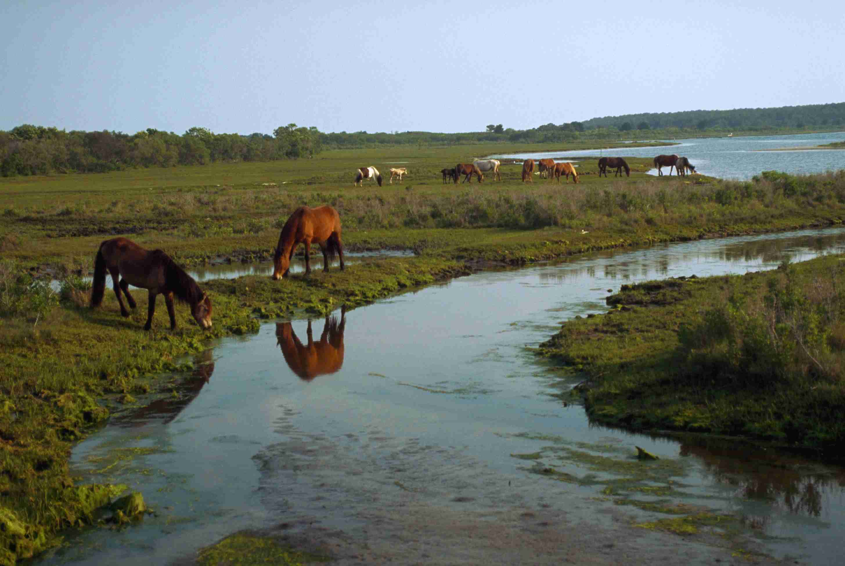 A herd of wild horses in a saltwater marsh environment