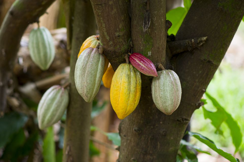 Cacao pods on a Hawaii farm