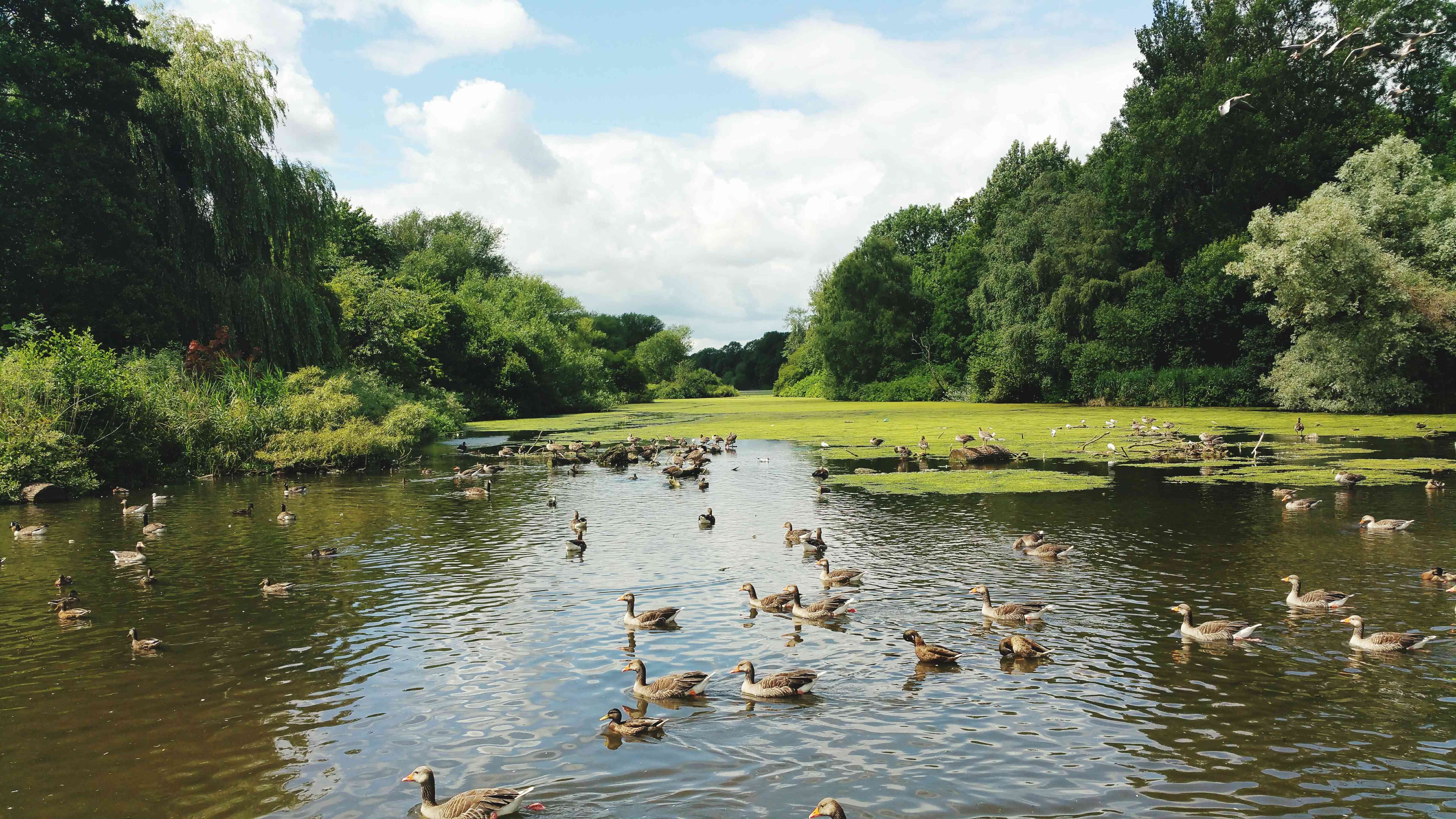 Birds In Pond At Coombe Country Park