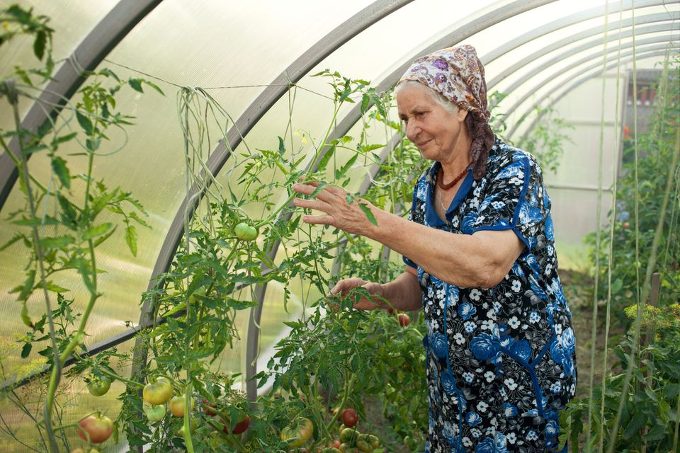 Elderly Woman 80 Years In A Greenhouse Harvesting Tomatoes