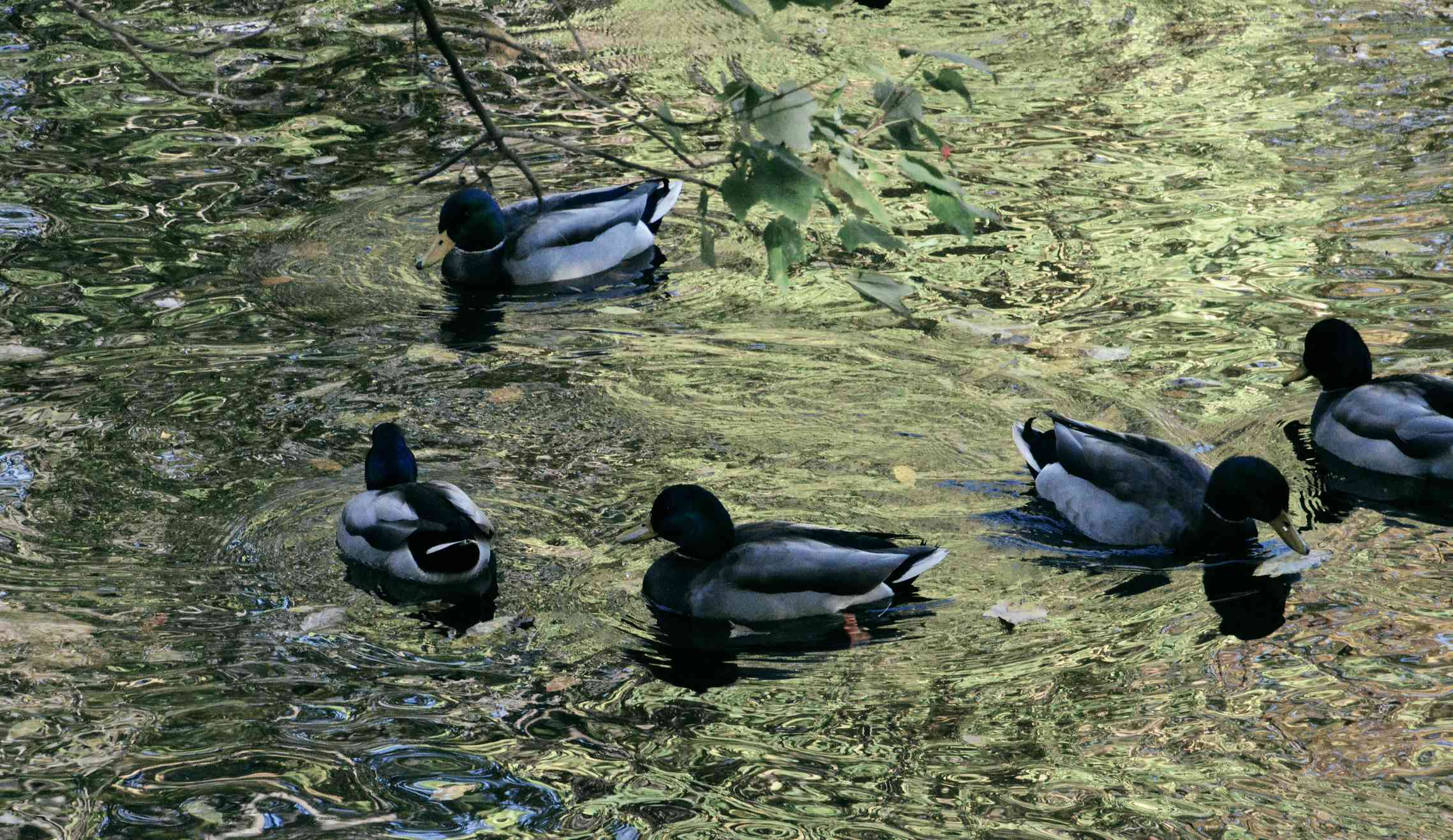 Ducks at Pennypack park swim in a pond