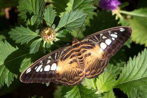 Parthenos sylvia-Clipper at Butterfly Wonderland