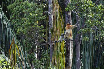 Proboscis monkey at Bako National Park in Malaysian Borneo