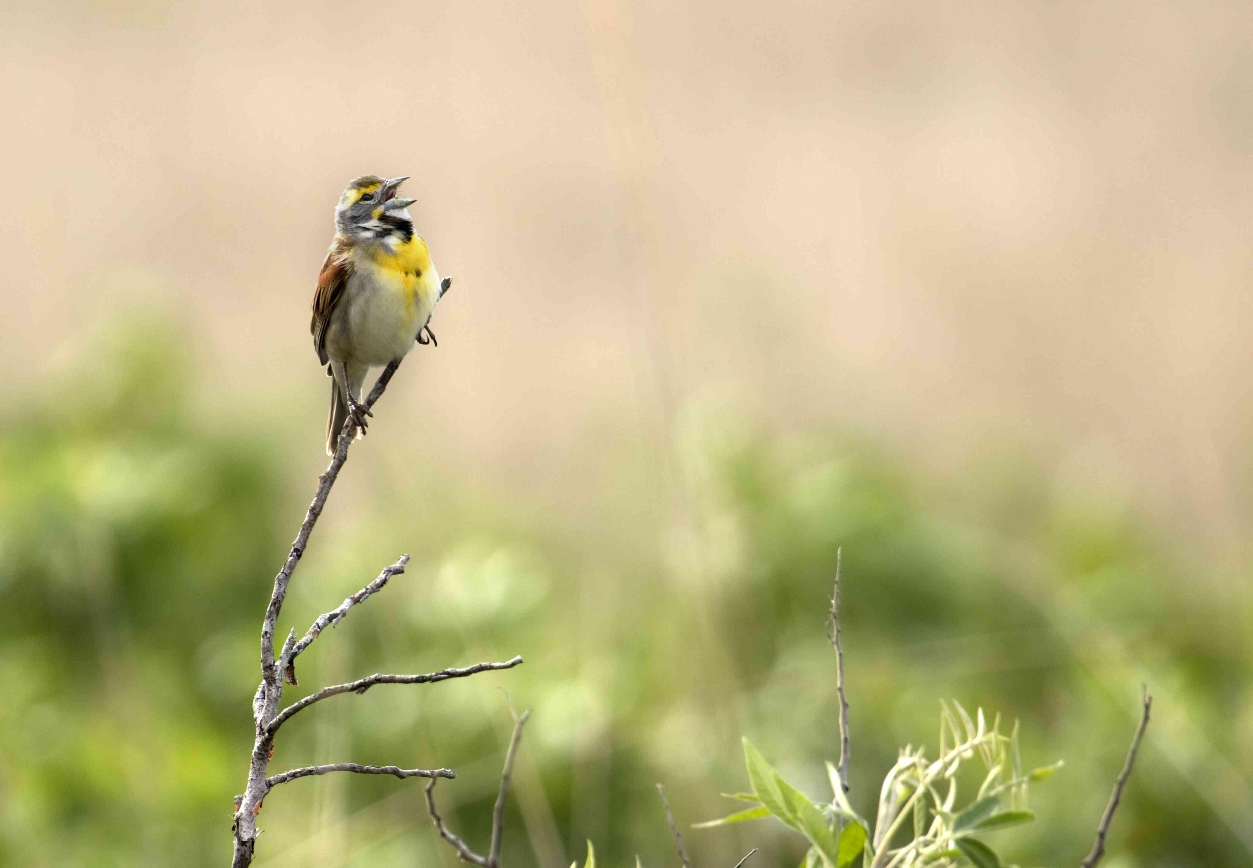 Dickcissel bird sings tall grass Prairie State Park Missouri