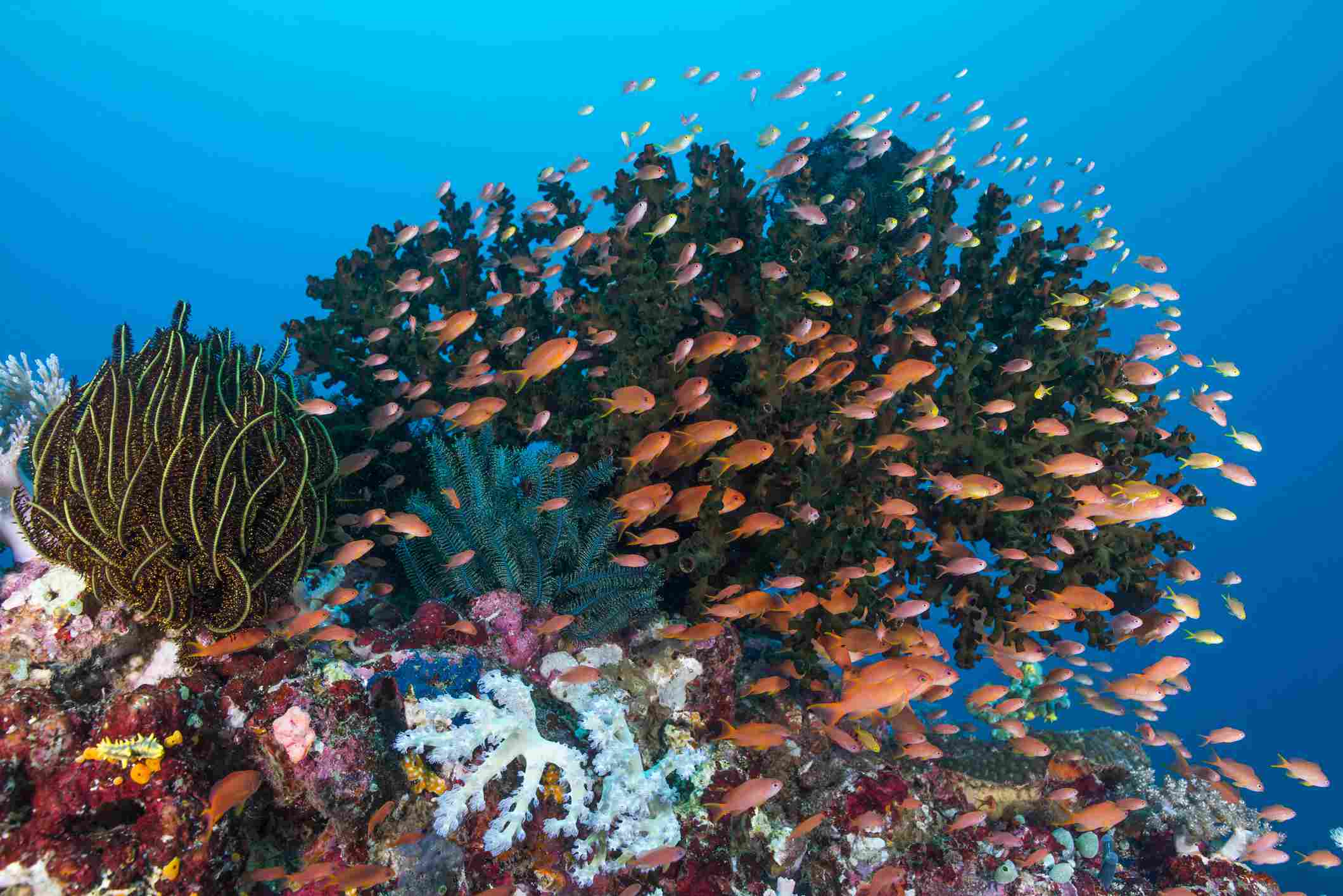 School of anthias fish swimming over a colorful reef in Anilao, Batangas, phillipines