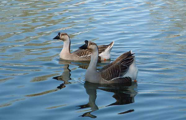 Chinese Geese