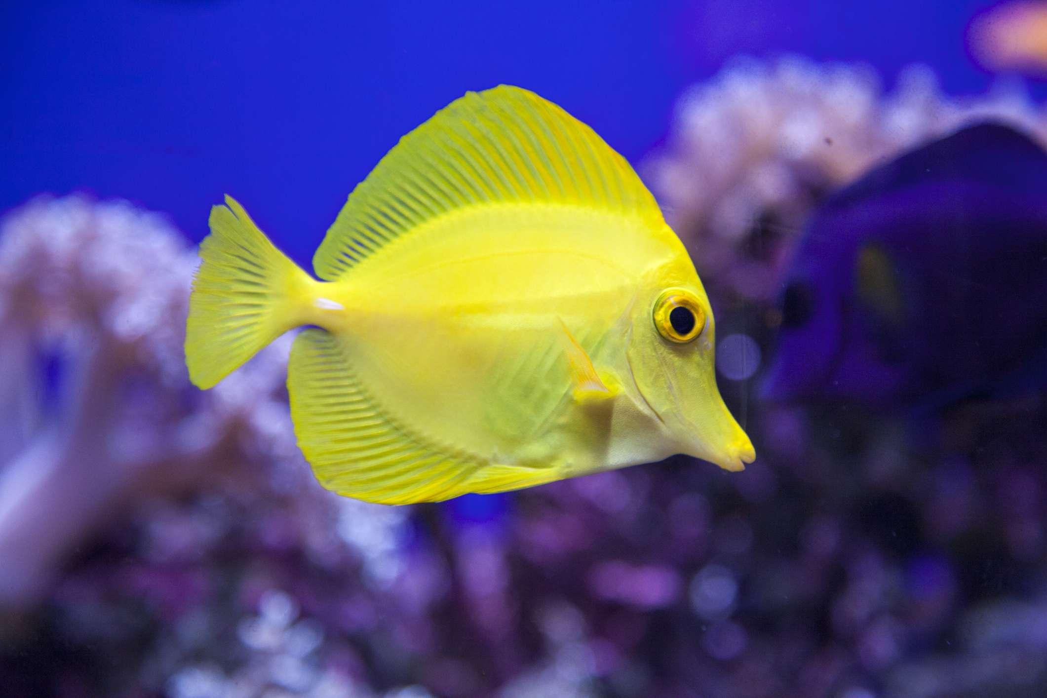 Yellow tropical fish in aquarium