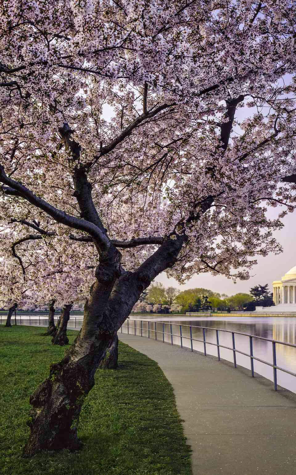 Washington DC cherry trees