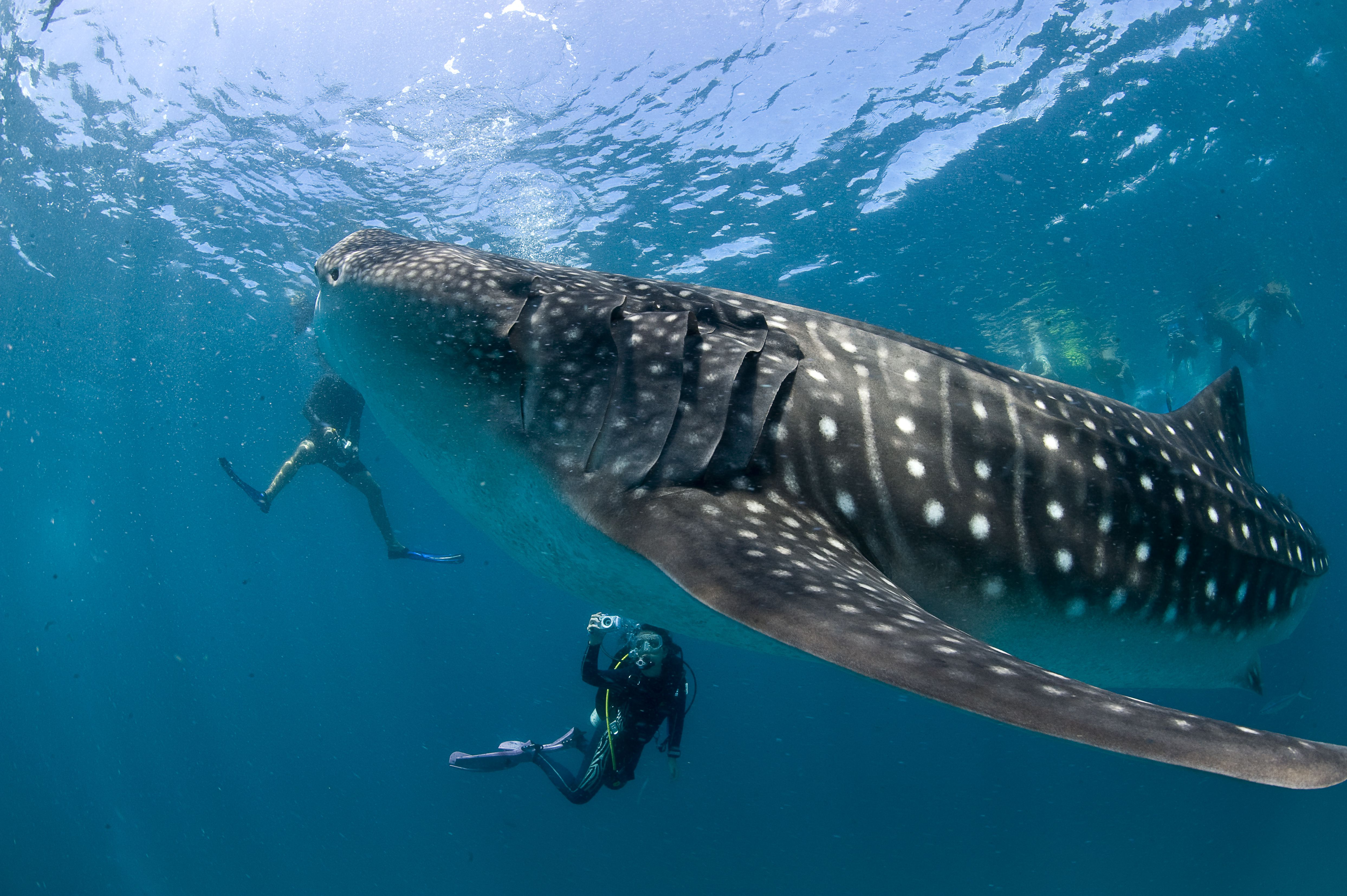 Do whale sharks the worlds biggest fish eat people altavistaventures Image collections