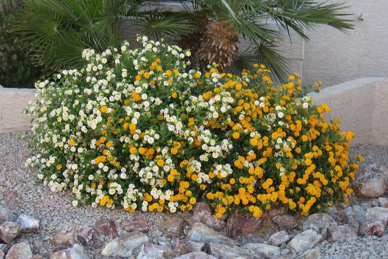 Easy Growing Desert Plant Lantana
