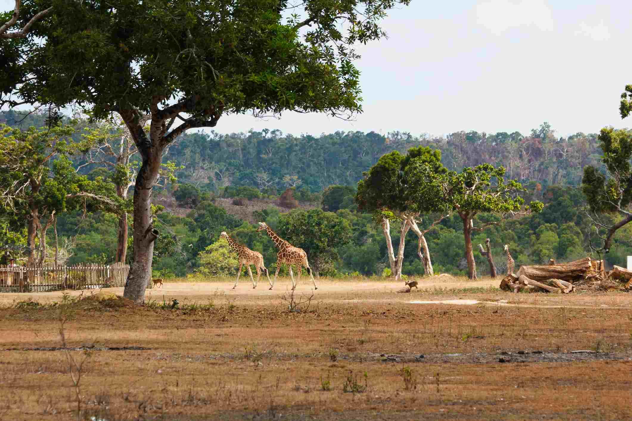 Parque Whild Island Calauit de Filipinas, jirafa