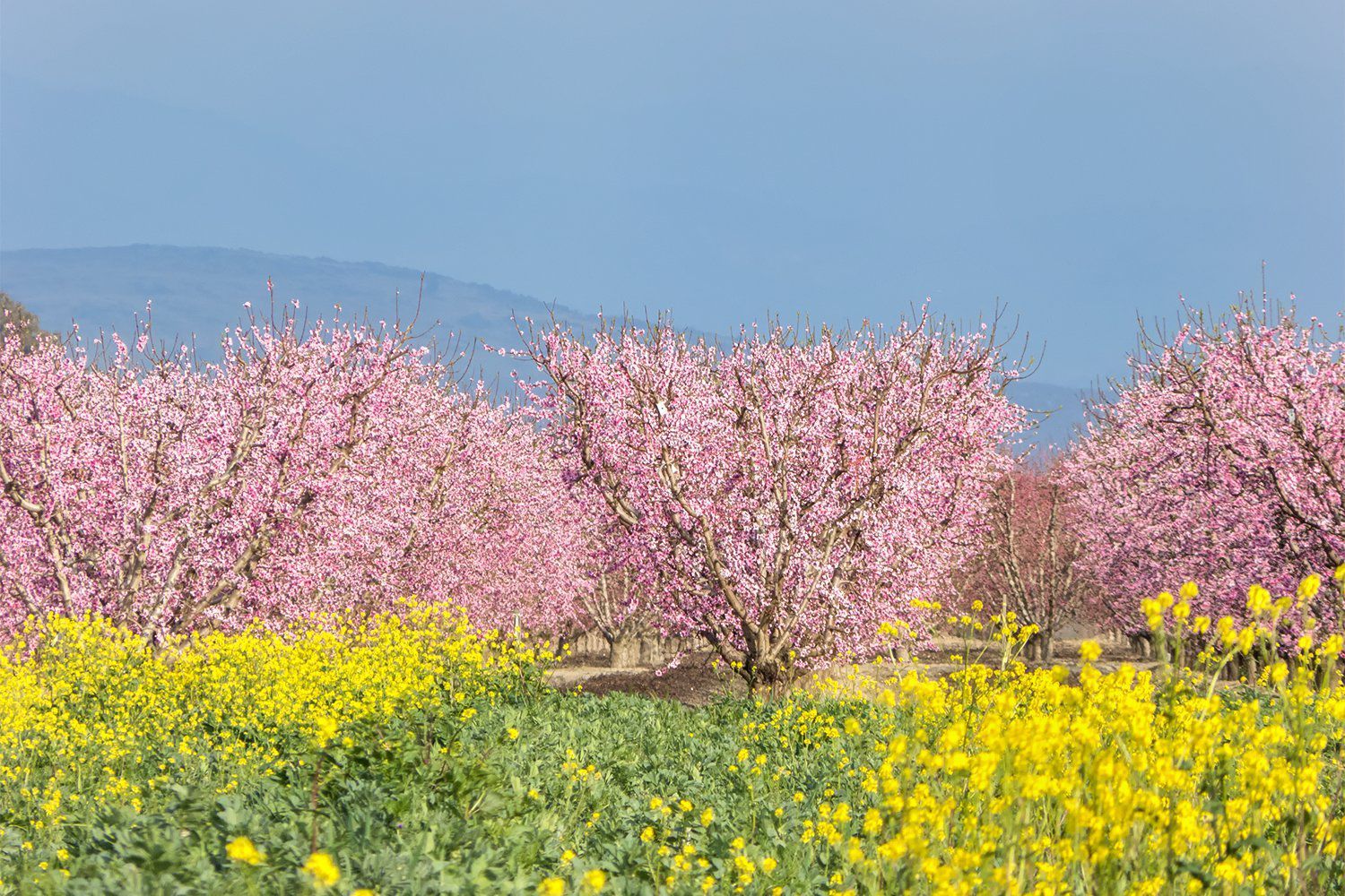 Fresno blossom trail how and when to see it mightylinksfo