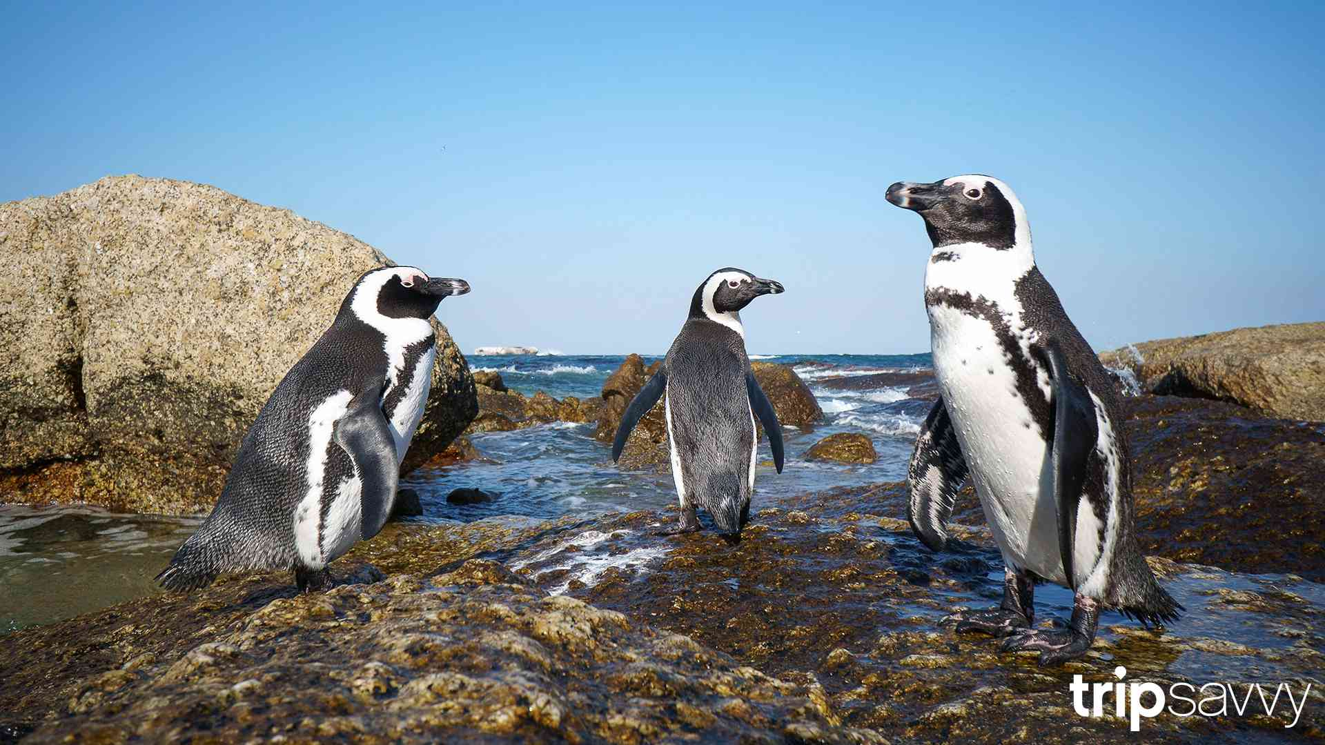 Penguins at Baldwin Beach